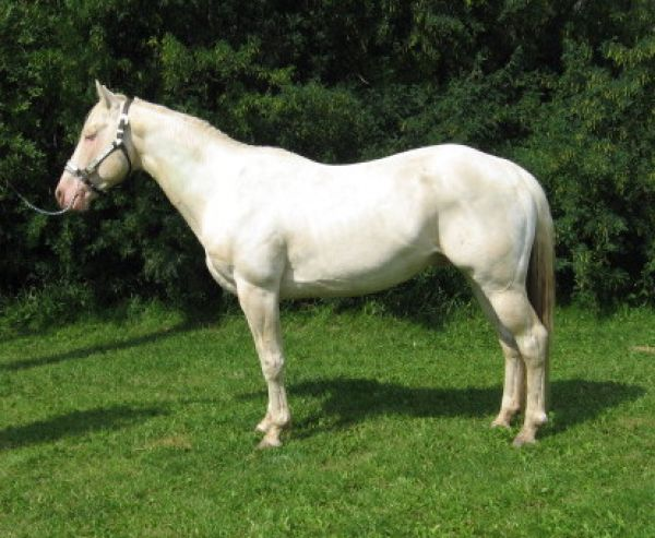 Perlino Paint Stallion for Sale in Alberta