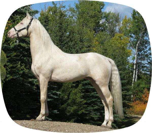 Cremello Morgan Stallion for Sale in Alberta