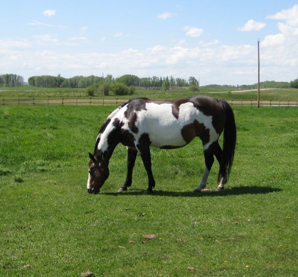 Black Overo Paint Stallion for Sale in Alberta