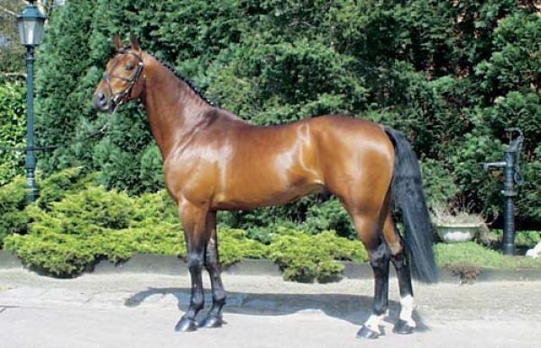 Bay Belgian Warmblood Stallion for Sale in Virginia