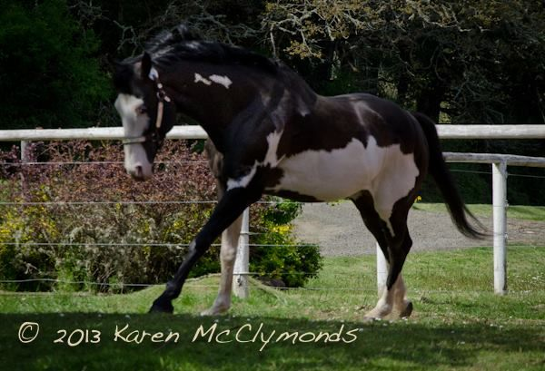 Black Overo Paint Stallion for Sale in Oregon