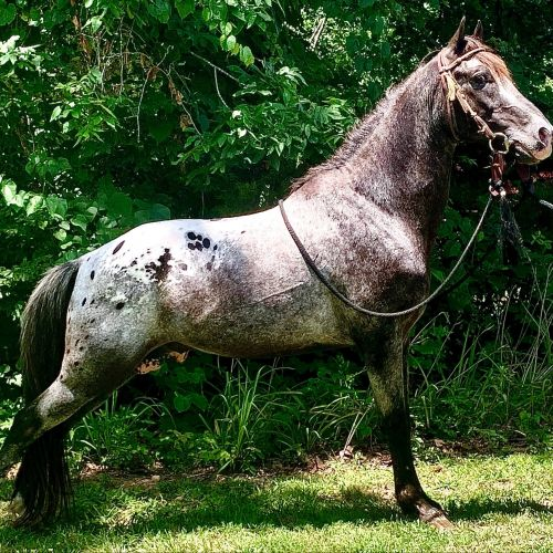 Black Tennessee Walking Stallion for Sale in Texas