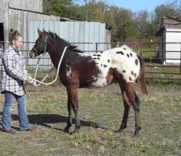 Bay Appaloosa Horse for Sale in Ohio