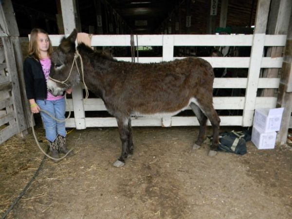 Grey Donkey Horse for Sale in Missouri