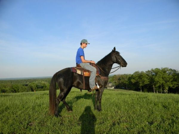 Black Tennessee Walking Mare