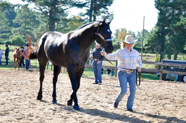 Black Quarter Horse Stallion for Sale in Georgia