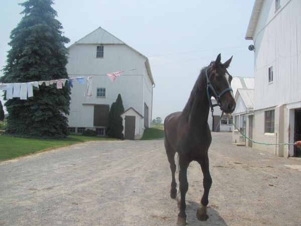 Black Dutch Warmblood Horse for Sale in Pennsylvania