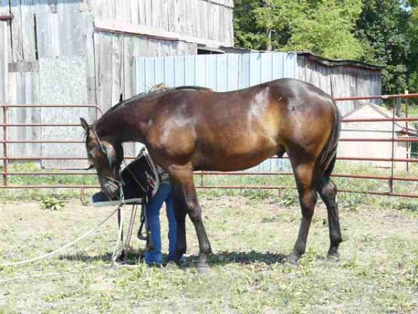 Black Thoroughbred Horse for Sale in Ohio
