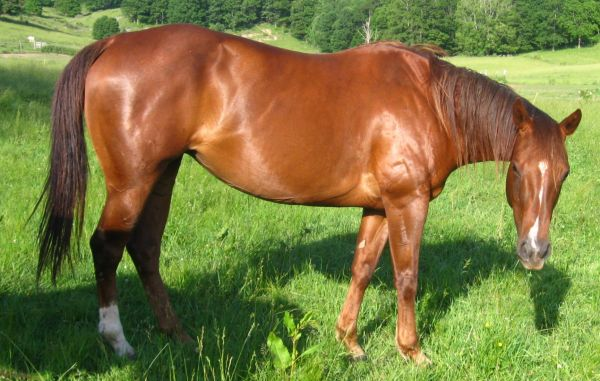 Chestnut Quarter Horse for Sale in West Virginia