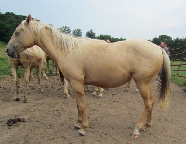 Palomino Quarter Horse for Sale in West Virginia