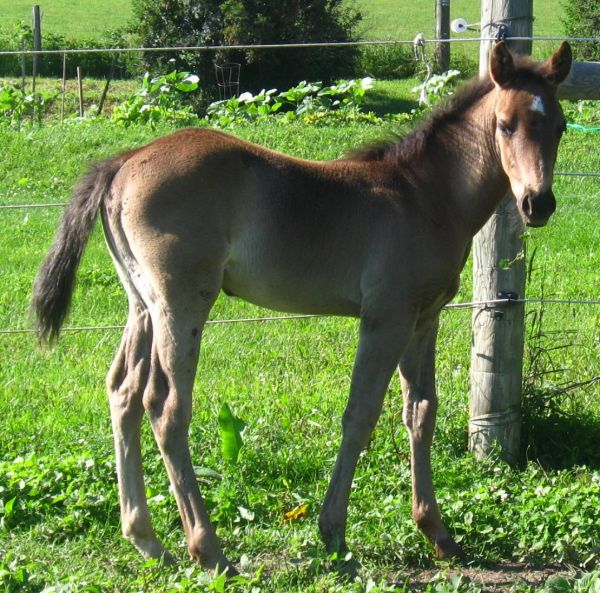 Black Quarter Horse for Sale in West Virginia