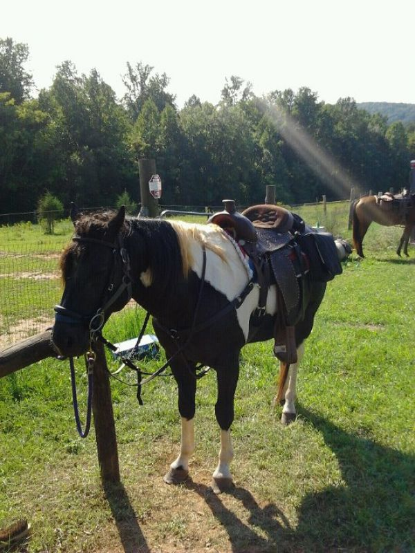 Tobiano Paint Stallion for Sale in Virginia