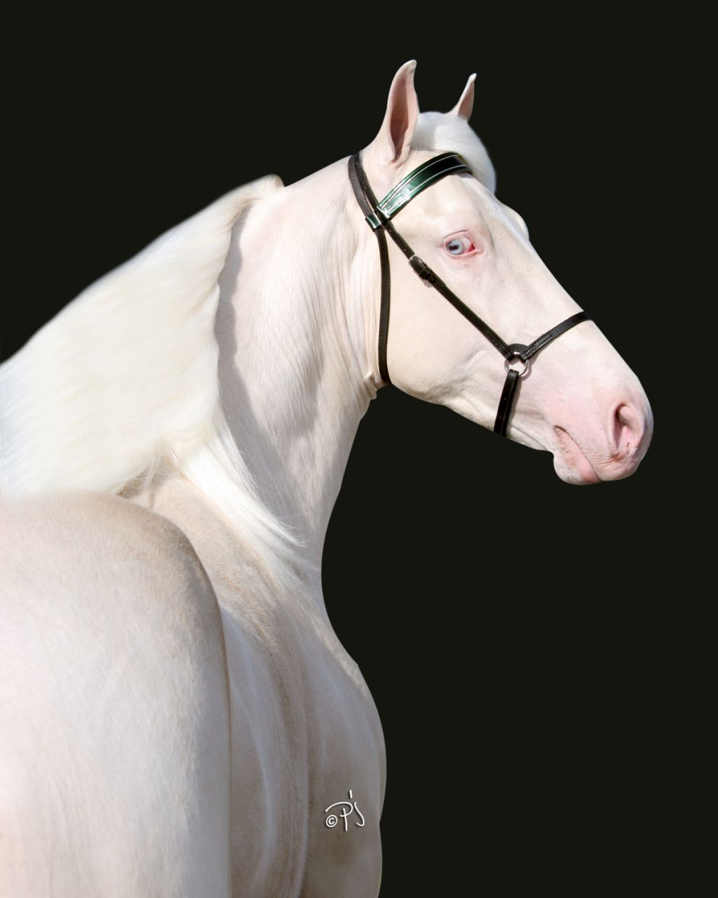 Cremello Tennessee Walking Stallion