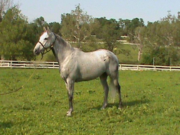 Grey Thoroughbred Gelding