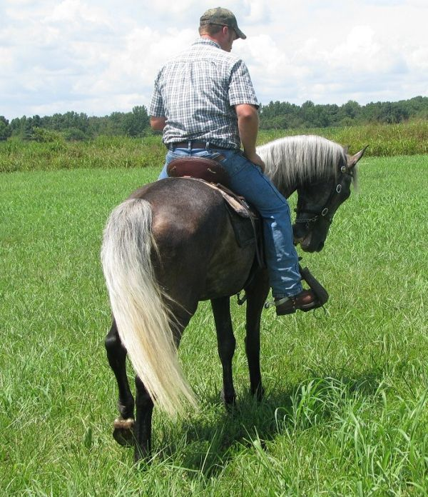 Grey Tennessee Walking Horse for Sale in Alabama