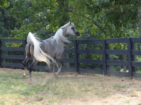 Grey Arabian Stallion for Sale in Pennsylvania