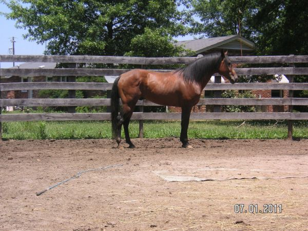 Bay Quarter Horse Stallion for Sale in South Carolina