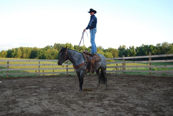 Blue Roan Quarter Horse Stallion for Sale in Indiana