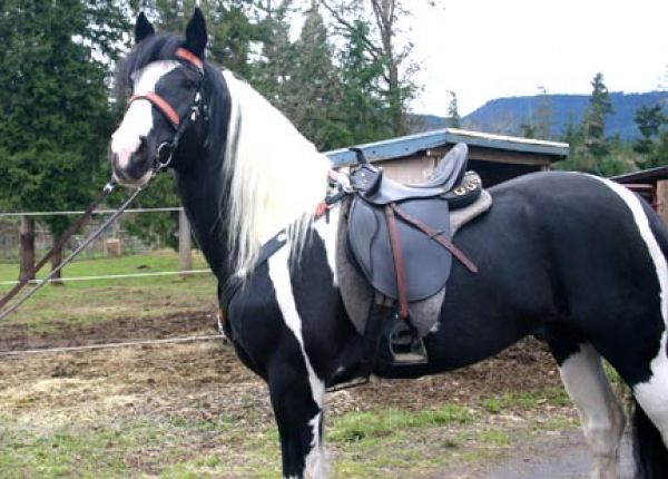 Tobiano Warmblood Stallion for Sale in Oregon