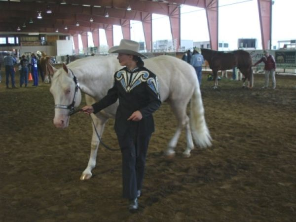 Cremello Paint Stallion for Sale in California