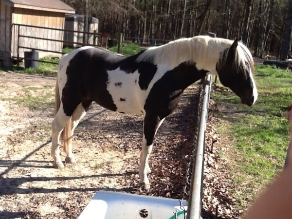 Black Paint Stallion for Sale in Louisiana