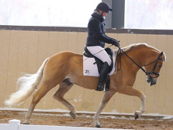 Chestnut Haflinger Stallion for Sale in Michigan