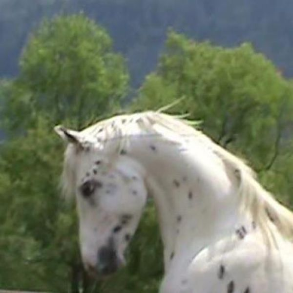 White Araloosa Stallion for Sale in New York