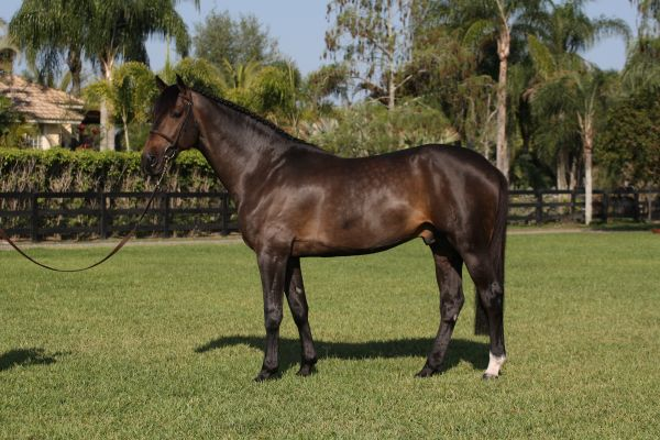 Brown Dutch Warmblood Stallion for Sale in Virginia