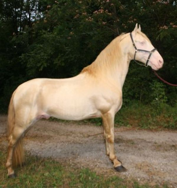 Other Tennessee Walking Stallion for Sale in