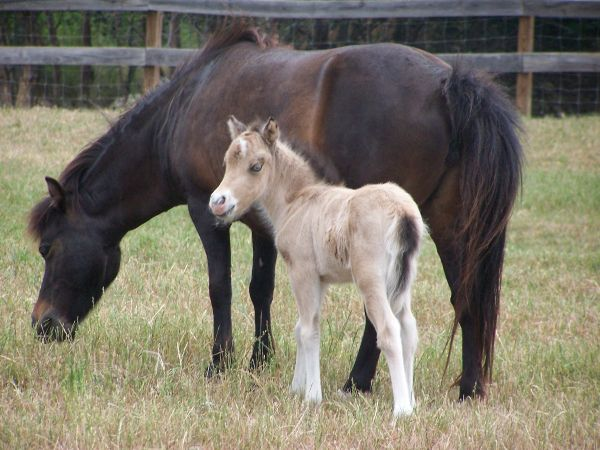 Bay Miniature Horse for Sale in Texas