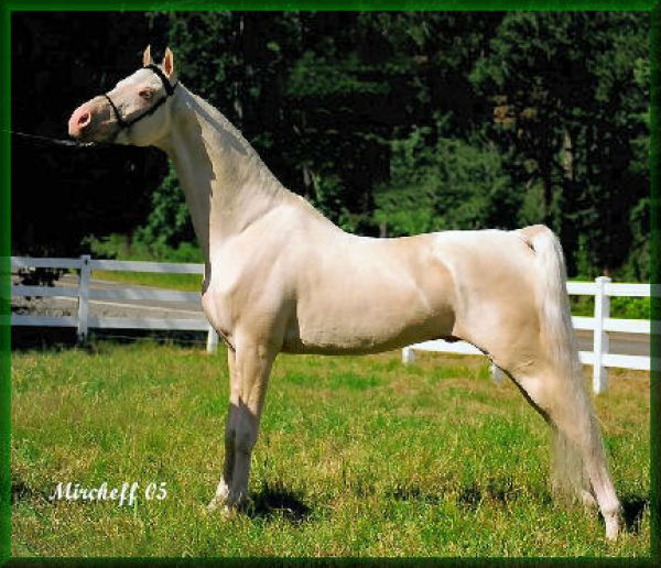 Cremello Saddlebred Stallion