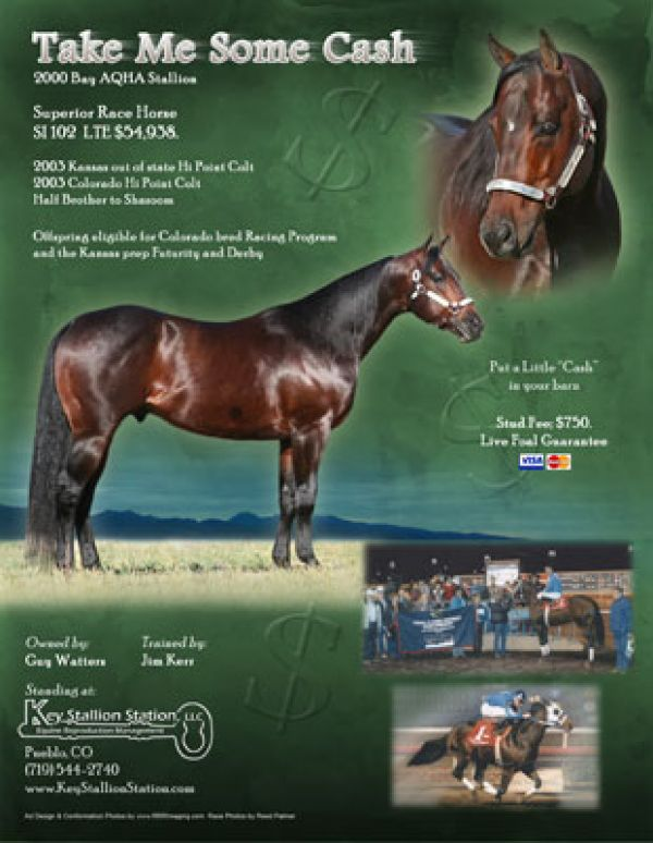 Bay Quarter Horse Stallion for Sale in Colorado