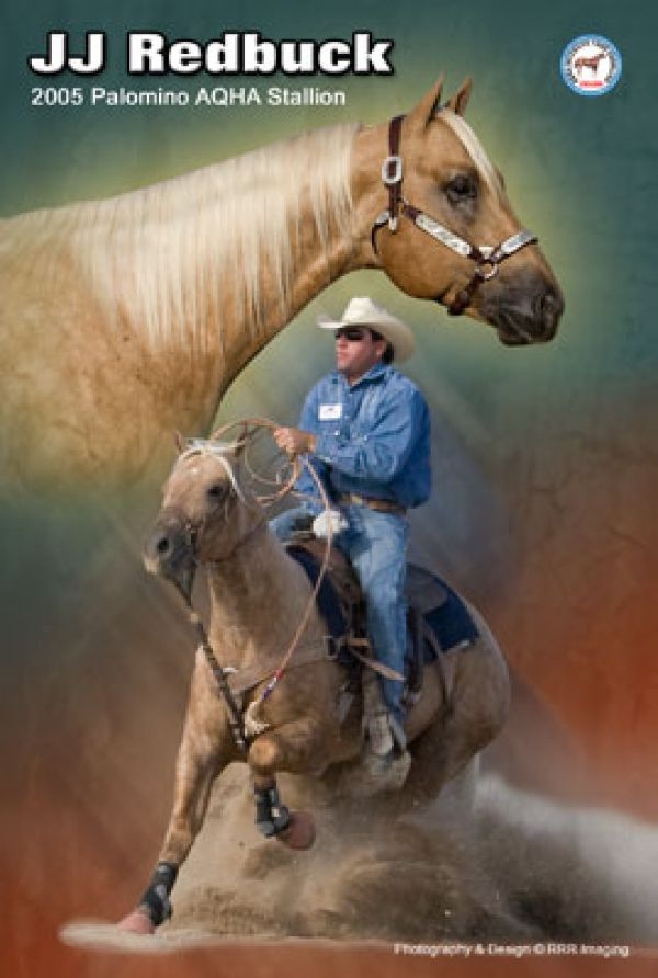 Palomino Quarter Horse Stallion for Sale in Colorado