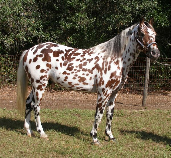 Other Appaloosa Stallion for Sale in Florida