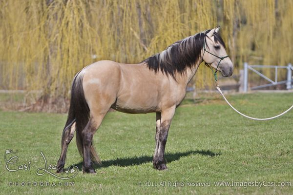 Dunskin Spanish Mustang Stallion for Sale in Wisconsin
