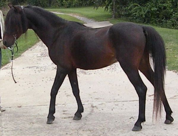 Bay Other Stallion for Sale in North Carolina