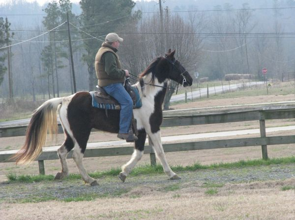 Tobiano Spotted Saddle Horse for Sale in Alabama