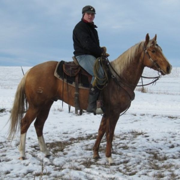 Palomino Quarter Horse Stallion for Sale in Montana