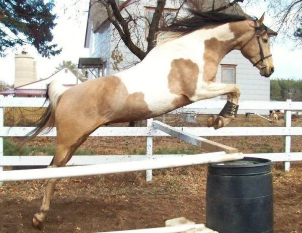 Buckskin Pinto Stallion for Sale in Wisconsin