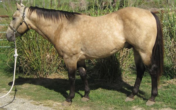 Buckskin Quarter Horse Stallion for Sale in Missouri