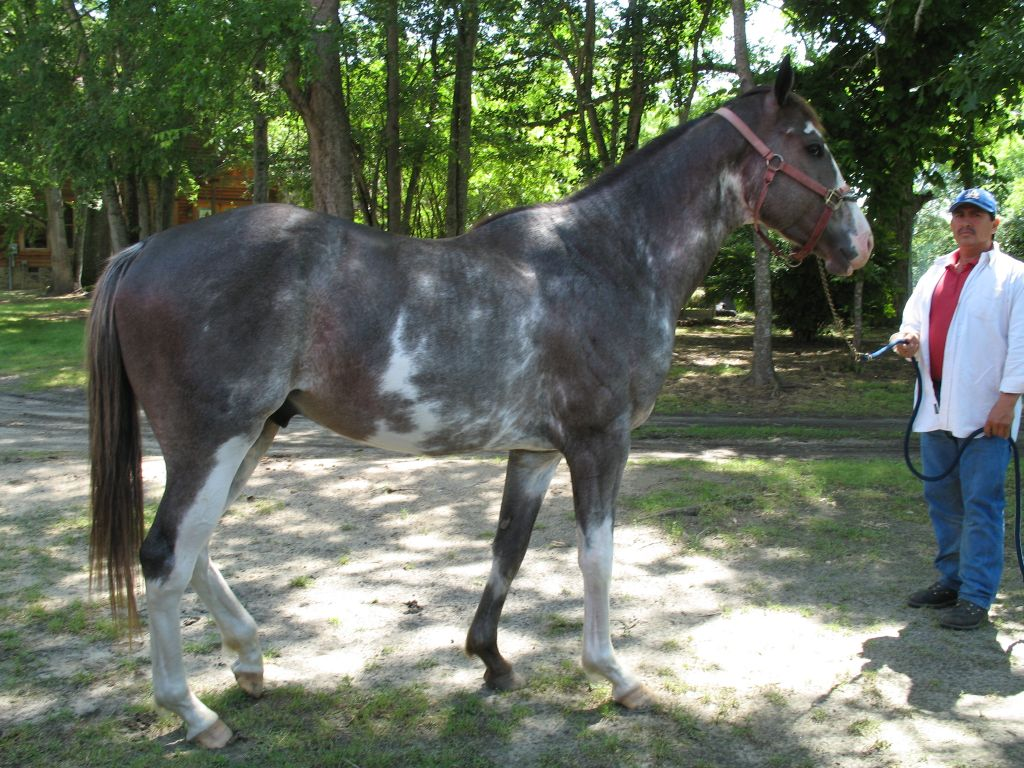 Sabino Thoroughbred Stallion