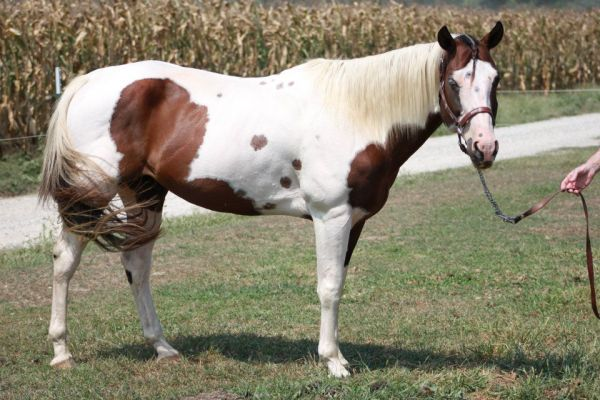 Bay Paint Stallion for Sale in Indiana