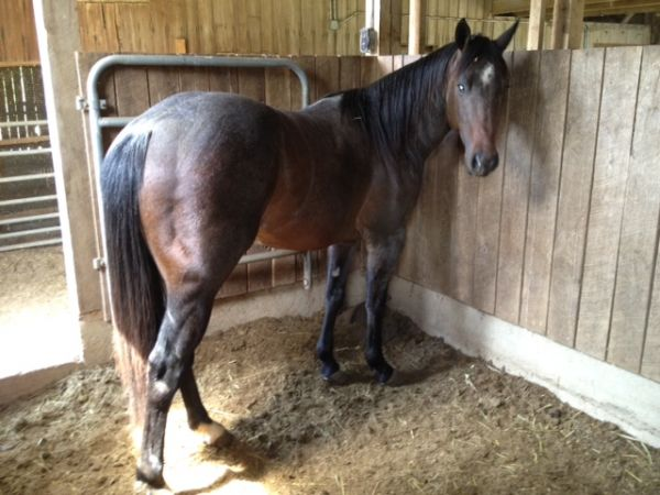 Bay Roan Quarter Horse for Sale in Missouri