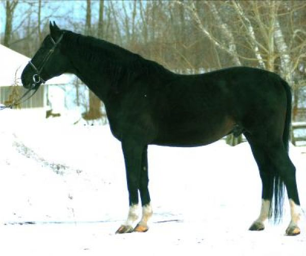 Black Westphalian Stallion for Sale in Nova Scotia