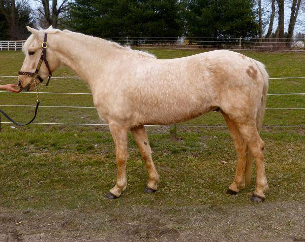 Palomino Haflinger Horse for Sale in Ohio