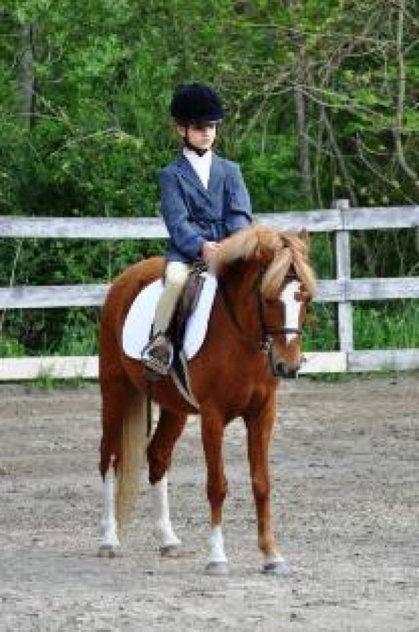 Chestnut Welsh Pony Horse for Sale in Massachusetts