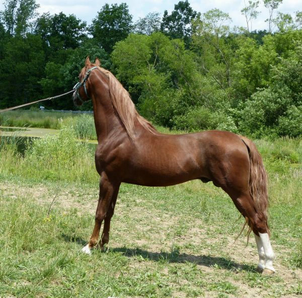 Chestnut Saddlebred Stallion for Sale in Ohio