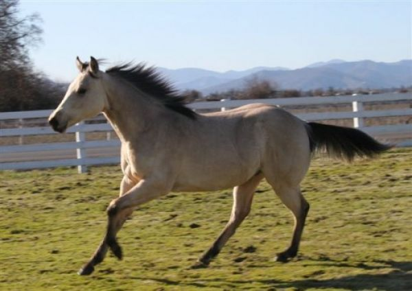 Buckskin Quarter Horse Stallion for Sale in North Dakota
