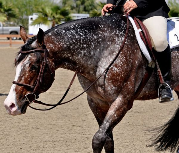 Bay Appaloosa Stallion for Sale in California