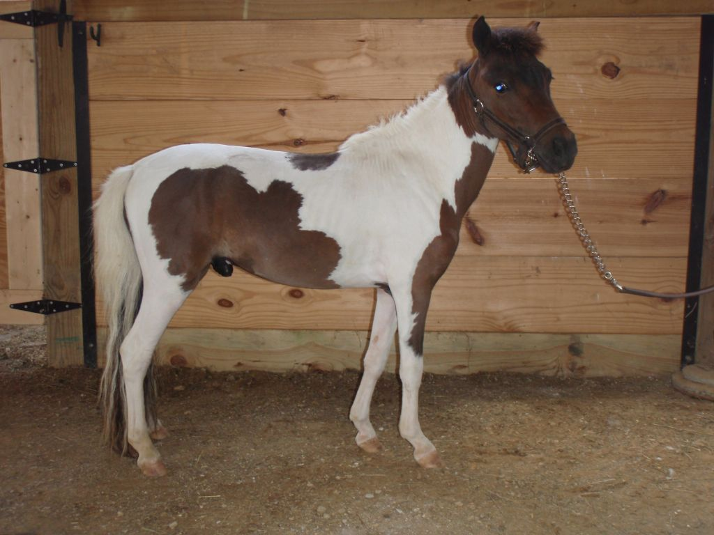 Pinto Miniature Stallion